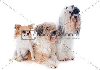 tibetan terriers and chihuahua