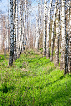 birch forest in the spring