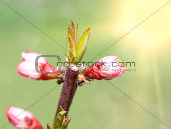 Spring blossom: branch of a blossoming  tree on garden background