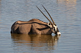 Orix (Gemsbok) drinking water