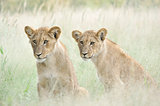 Lion cubs in the Kalahari