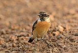 male Eastern Stonechat (Saxicola stejnegeri)