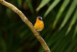 male mugimaki flycatcher