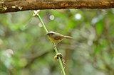 brown-cheeked fulvetta (Alcippe poioicephala)