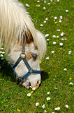 Horse eating green grass