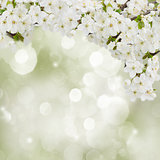 Blossoming Plum Flowers in garden