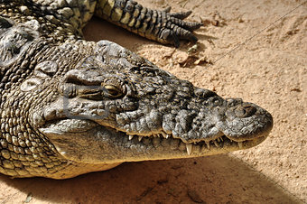 nile crocodile wild animal