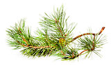 Green fir branch with fir cone