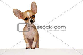 Funny Chihuahua puppy