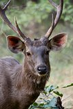 Male sambar deer close-up