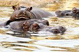 Hippo (Hippopotamus)