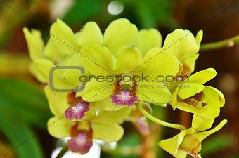 Beautiful Orchid yellow