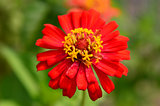 Colorful flower red