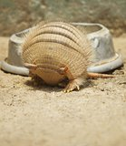 Armadillo rolling in