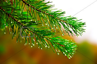 green prickly branches of a fur-tree or pine with rain drops