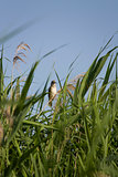 Bird in the reeds