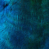 Feathers of a bird (peacock)