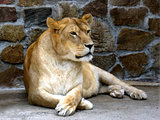 lioness having a rest in zoo