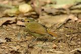 female Rufous-bellied Niltava (Niltava sundara)