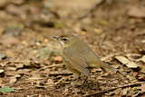 female Siberian Rubythroat (Luscinia calliope)