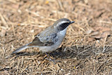 male Grey Bushchat (Saxicola ferreaus)