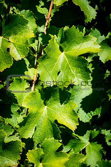 Green vine leaves