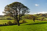 The English tree