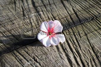Blossom of geranium