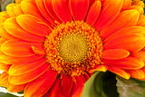 Vivid orange gerbera daisy in a bouquet
