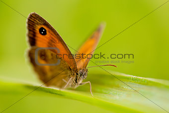 beautiful butterfly Pyronia tithonus macro closeup outdoor
