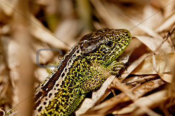 green and brown lizard macro closeup in nature outdoor summer