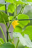 fresh green cucumber plant in garden summer outdoor