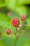 raspberry plant outdoor in garden summer berries flowes