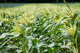 fresh green corn in summer on field agriculture vegetable