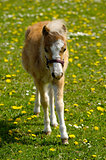 Young horse foal on field