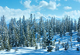 Winter mountain fir forest landscape