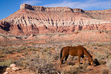 Domestic Animal Livestock Horse Grazes Desert Southwest Canyon L