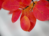 Autumn soft red leaves
