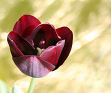 Black Tulip single flower