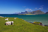 Sheep farm on Lofoten
