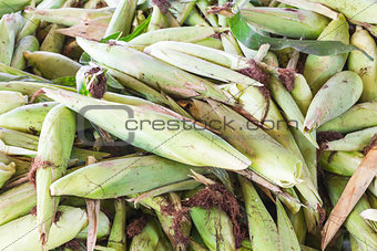 Fresh corn with husk