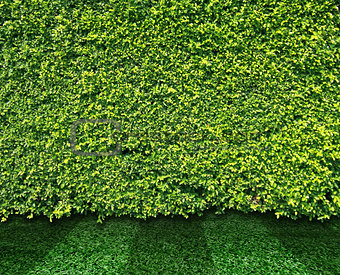 Green leaves wall and grass