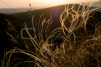 bloom of a feather grass (stipa)