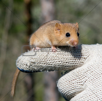 charming Dormouse