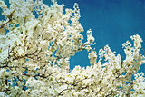 spring flowering tree on blue textured sky