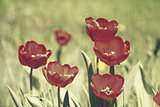 Red tulips, textured paper background