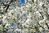 Spring blossom: branch of a blossoming apple tree on garden background