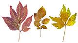 Peony leaves, potato leaves and leaves of lovage