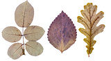 Rose leaves, basil leaf and oak leaf