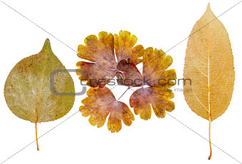 Apricot , flower and apple leaves